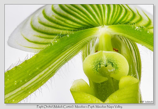 Paph Orchid / Montana