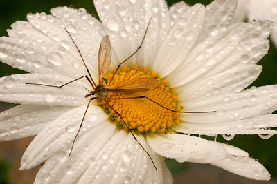 Alaskan mosquito?