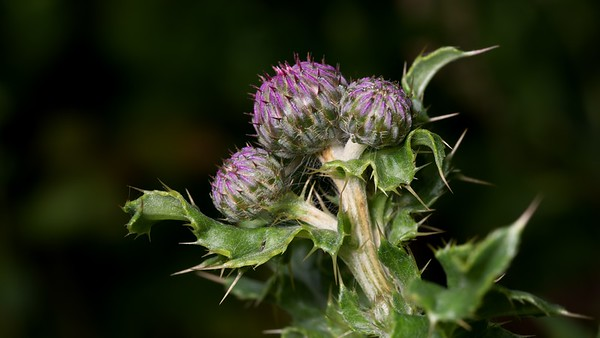 Another Thistle 2