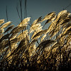 """Sea Oats Kissed """"By The Sun"""