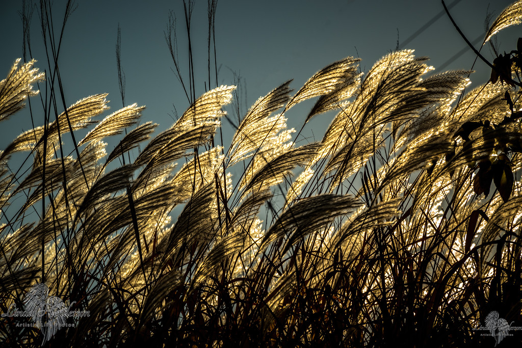 "Sea Oats Kissed ""By The Sun"