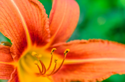 Day lily anther, macro