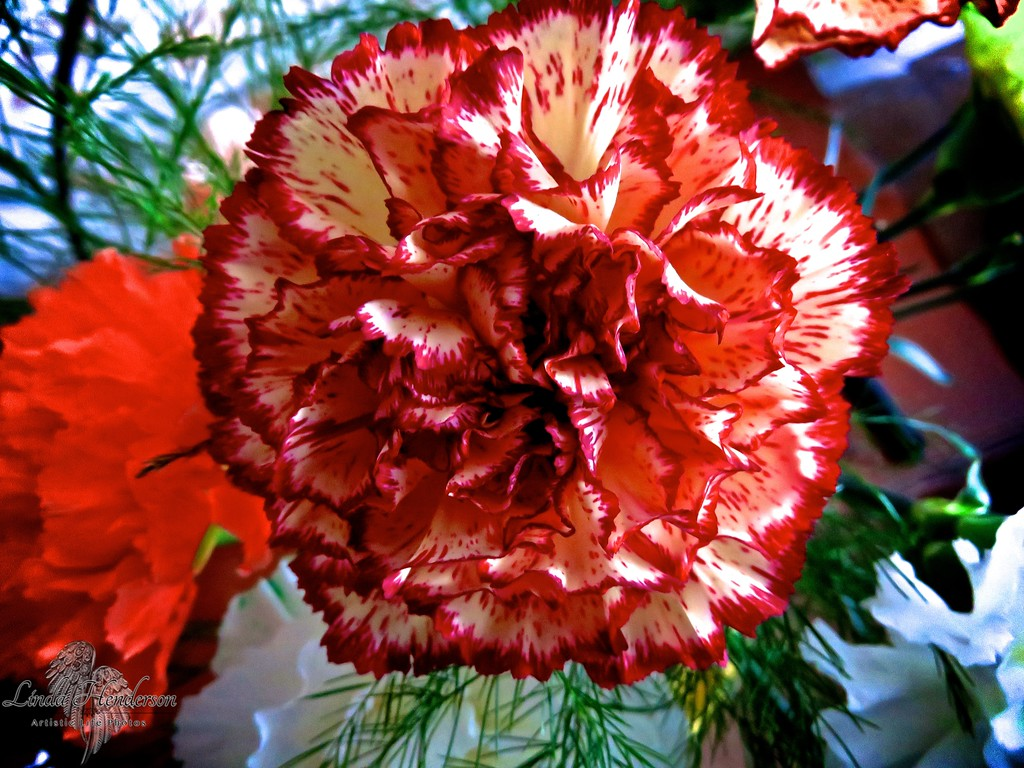 Red & White Carnation