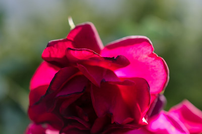 Backlit Red Rose