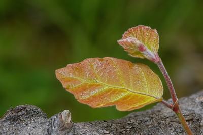 Bud and Leaf