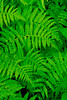 Ferns-MC-01