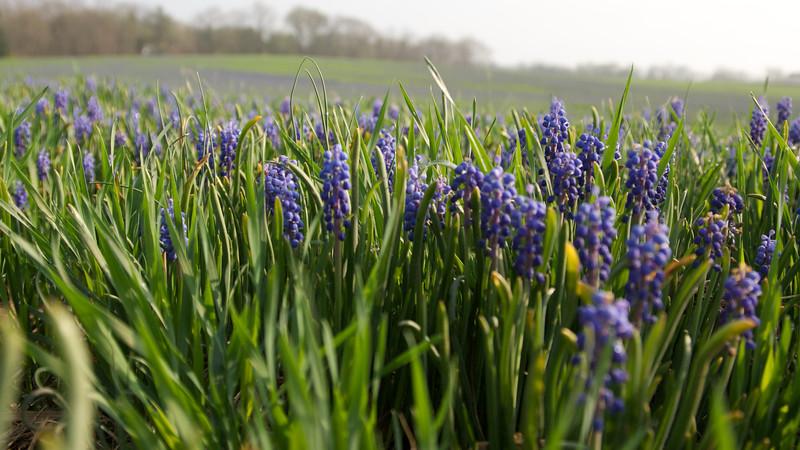 Field of Purple & Green