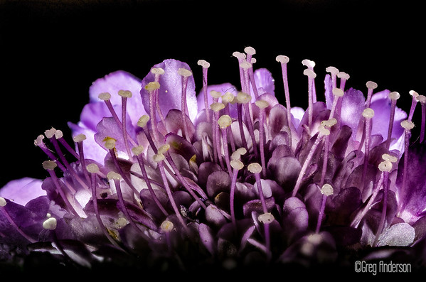 Closeup Pincushion  Flower