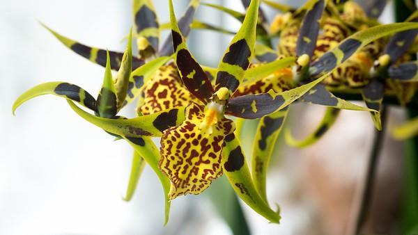 Katrins Hybrid Orchid Mystic Maze