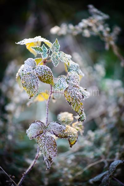 Tender Frost
