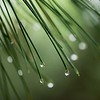 Pine Needle Dewdrops