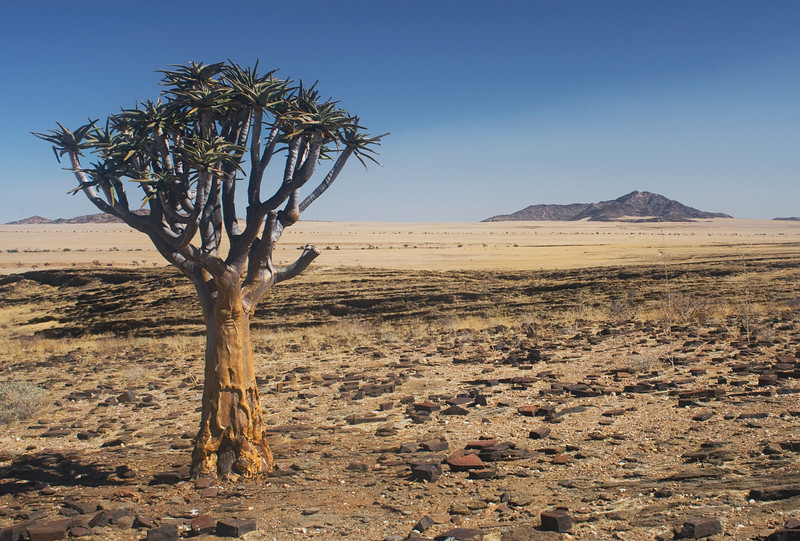 Aloe Dichotoma, Namib Desert