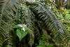 Pacific Trillium & Sword Fern