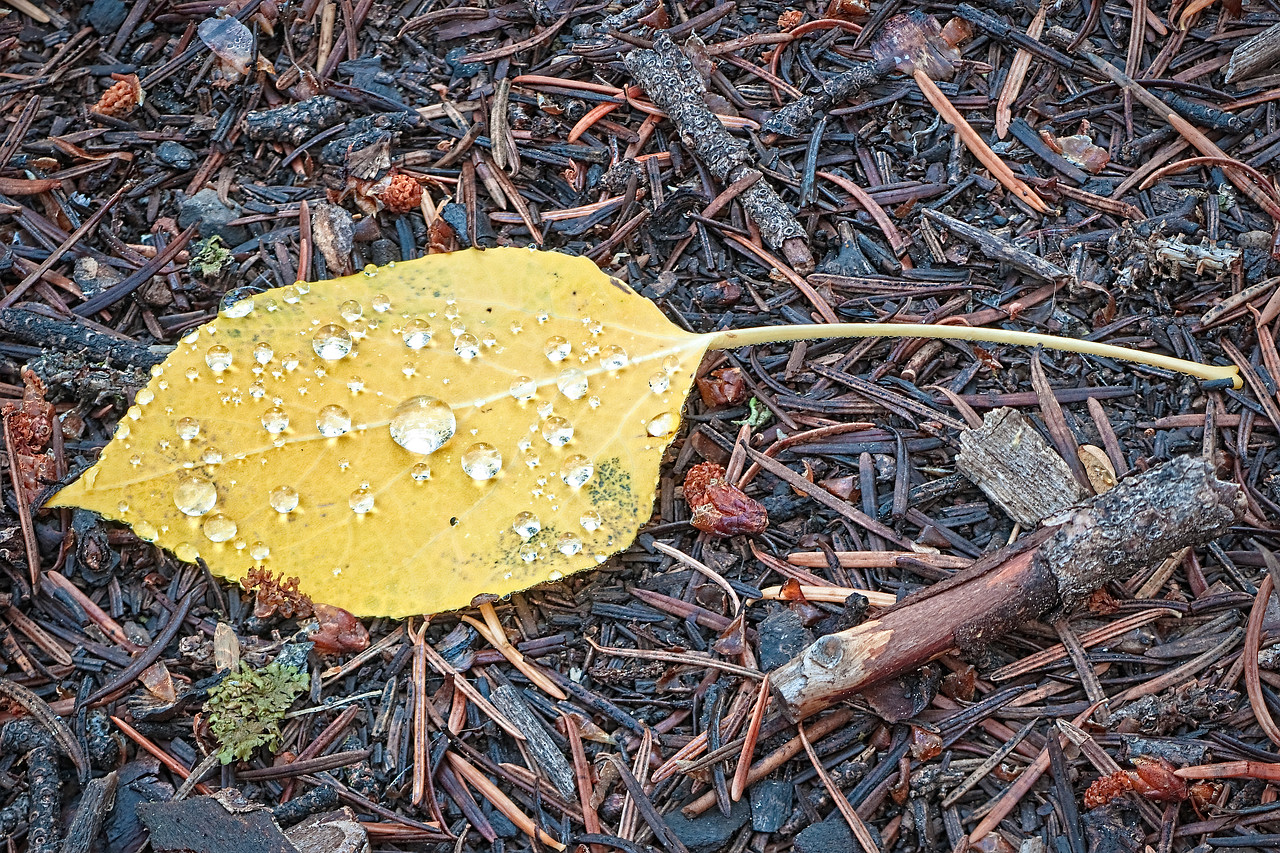"""""""Pearls of Great Worth"""" - Aspen Leaf - Crested Butte, CO"""