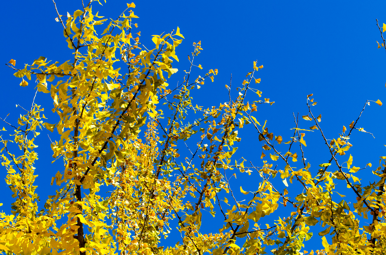 Ginko, fall afternoon sun
