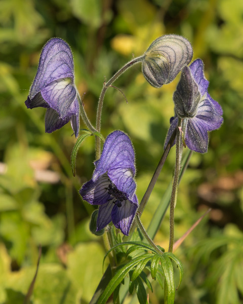 Mountain Monkshood