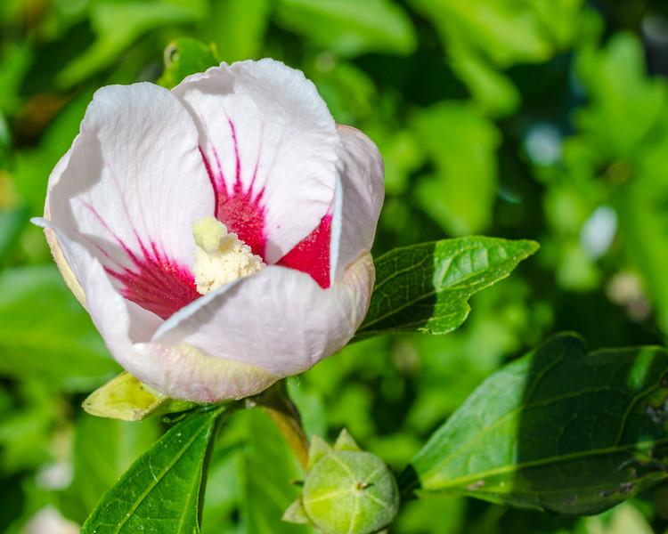 Dwarf Rose of Sharon, open