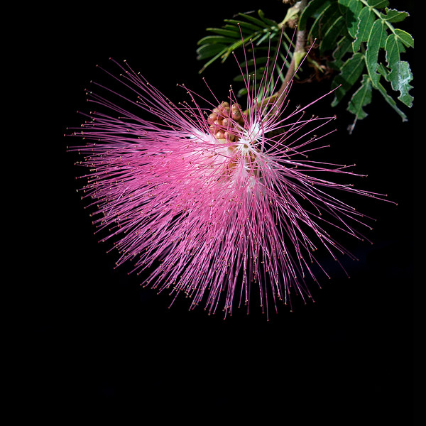 Shaving Brush Tree blossom