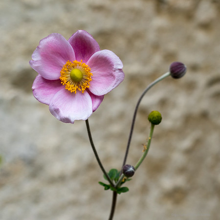 Flower against Church wall