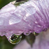 Water Droplets on a Pink Flower