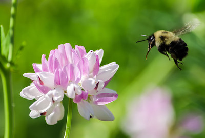 Bumblebee and clover, color macro