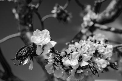Cherry Blossoms XVI mono