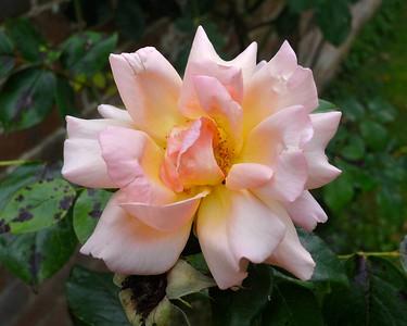 Nikon 1 Rose 0654