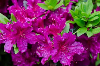 Wet azalea blossoms
