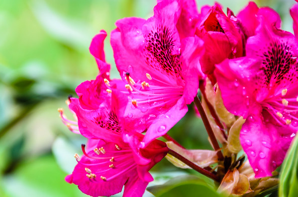 Wet Rhododendron blossoms