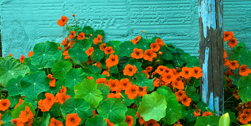Nasturtiums and Blue Wall