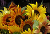 rpc_sunflowers_print_proof_1