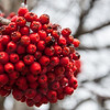Mountain Ash Berry Bunch