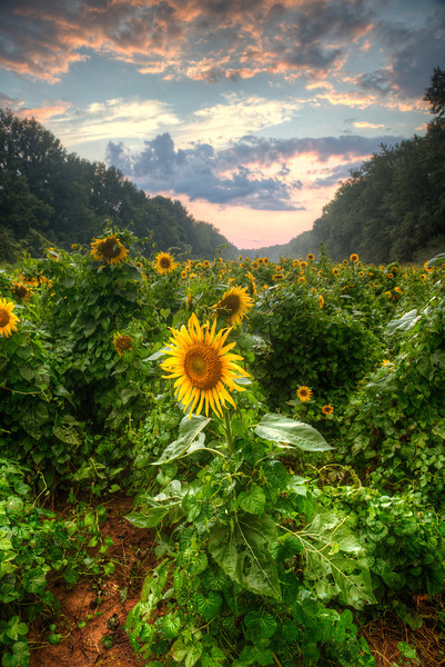 Maryland Sunflower Field at Sunset