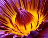 Water Lily Unfolding: Kauai