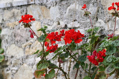 Kirkwall - Geraniums