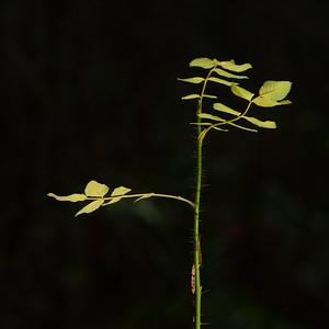 Baldhip Rose