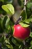 Apples-05