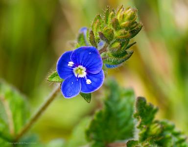 Speedwell Blue