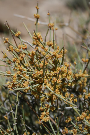 green ephedra mormon tea