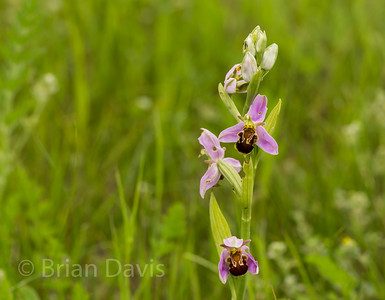 Bee Orchid 3