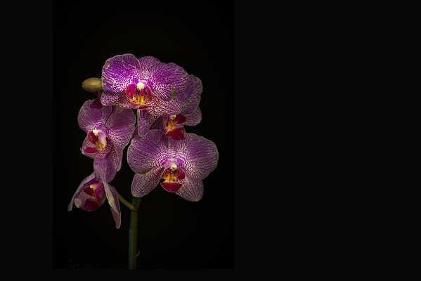 Purple Tiger Orchid Spray