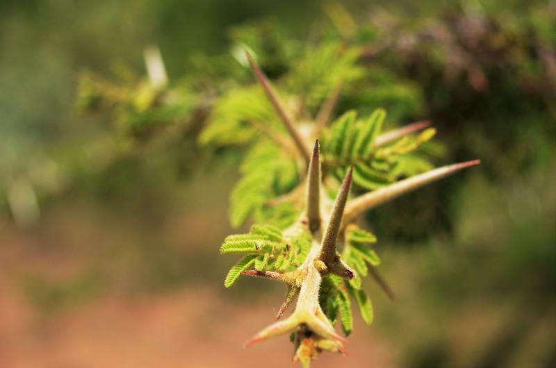 Fuzzy Acacia