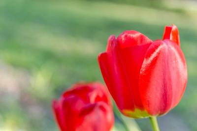 Red tulips V