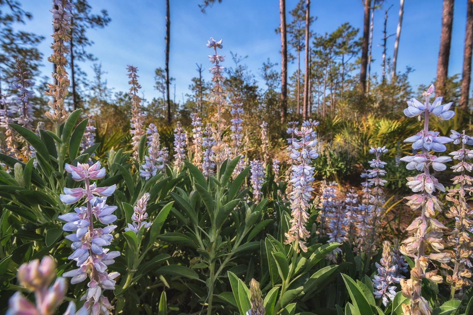 Skyblue lupine (Lupinus diffusus) at Split Oak Forest in Orlando, FL [OC] [1600×1067]