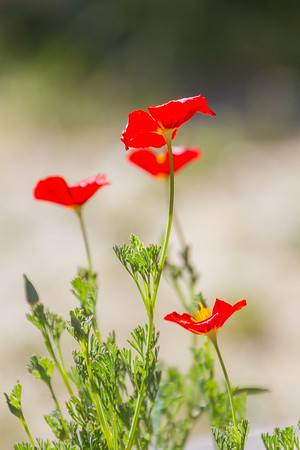 Red Chief Poppies