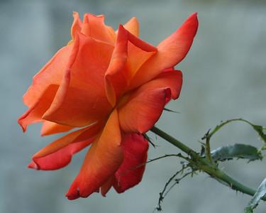 Peachy Rose Nikon 1 V1
