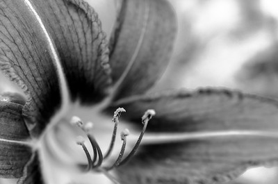 Day lily anther, mono, macro