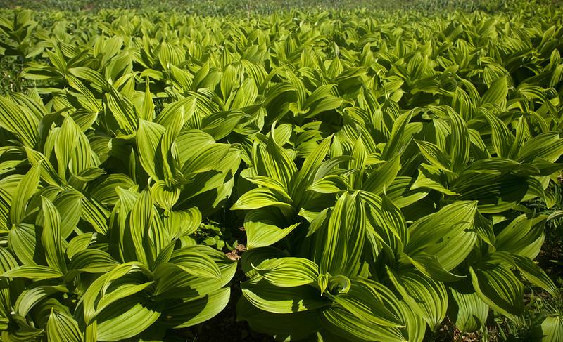 Green Corn Lily, Hannegan Pass