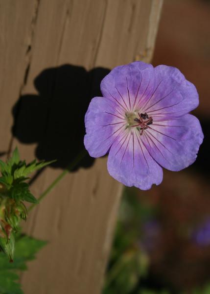 Geranium variant in the garden at Stine Ranch