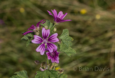 Common Mallow 2